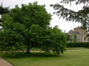 Mulberry Tree