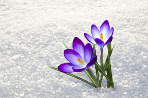 Blue crocus and saffron flowers growing in the snow