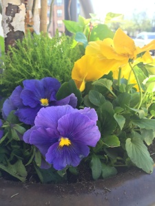 Beautiful pansy planters outside Mulberrys for Earth Day 2016